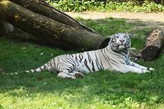 Look at me now! (norella.giorgia) Tags: tigre bianca felino tiger white lecornelle parco parcofaunistico zoo animal animale tigredelbengala bergamo italy tigrebianca nikon reflex d5500