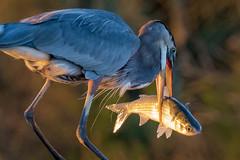 Don't Cry For Me Armand Bayou (gseloff) Tags: greatblueheron mullet fish feeding bird armandbayou pasadena texas kayakphotography gseloff