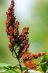DSC_1109 edited-62 (pattyg24) Tags: sumac tamron200500mm wisconsin leaf nature plant red summer