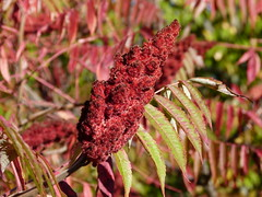 Staghorn Sumac bob (Toats Master) Tags: sumac red foilage fall autumn