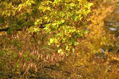 grn-gold (nirak68) Tags: schleswigholsteinkreisfreiehansestadtlbeck deutschland ger 293366 herbst laub golden linden autumn 2016ckarinslinsede lbeck leaves