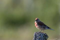 Linotte mlodieuse (gilbert.calatayud) Tags: cardueliscannabina commonlinnet fringillids linottemlodieuse passriformes bird oiseau aubrac lozre