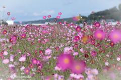 (michio1975) Tags:     bokeh cosmos pink field autumn       mashiko  tochigi
