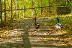 ein Spaziergang zu zweit (MaikeJanina) Tags: herbst fall autumn ente stockente herbstfarben laub herbstspaziergang