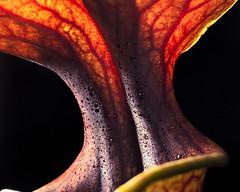 Sarracenia flava var. ornata (Hejemoni (@fbauzonx on Instagram)) Tags: sarracenia flava ornata orange yellow green black lowkey strobist nature plant plants carnivorousplant trumpet pitcher 85mm macro