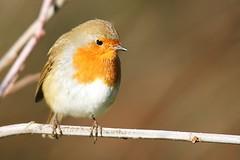 (merseymouse) Tags: birds robin nature wildlife