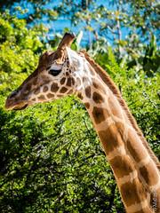 P1150233 (Pursuedbybear) Tags: tarongazoo sydney sydney2016 giraffe giraffacamelopardalis
