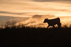 Calf Silhouette (Eastbaygirl925) Tags: eastbaygirl sanfranciscobayarea hills ranchlife calf sunset settingsun goldenhour golden light cattle ranch getoutside outdoors animals silhouette