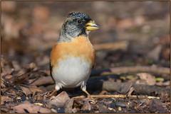 Brambling (image 2 of 2) (Full Moon Images) Tags: rspb sandy lodge thelodge wildlife nature reserve bird brambling