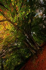 Autumn (Ylis7) Tags: autunno fotoautunno autumn funghi faggio lucca altopianodellepizzorne pizzorne faggioallaquila faggeta faggiosecolarelucca colori halloween magic ylis canon fotocanon fairy bosco sottobosco mushroom fall colorfall september october autumnfoliage