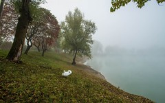 lake Zajarki (074) - foggy morning (Vlado Ferenčić) Tags: lakes lakezajarki fog foggy foggymorning autumn autumncolours autumnmorning mistymorning swans swansfamily birds nikond600 nikkor173528 animalplanet