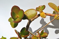 Crassula Ovata (sheik_61) Tags: jade plants potted plant crassula ovata frienship tree lucky money chinese culture