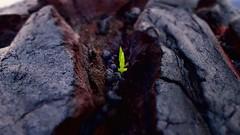 Push...Breathe (GrisParr) Tags: volcanoesnationalpark bigisland hawaii usa tropical volcaniclava growth greet blur lavarock nature outdoors green plant leaf birth earth