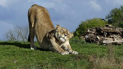 Stretch (Obelus2000) Tags: yorkshirewildlifepark lion lioness cat cats bigcats carnivore