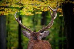 Broken Antler (pure photography!) Tags: geweih hirsch deer
