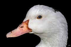 Et pourquoi pas un portrait de canard ..!  Montélimar 26 Drôme France