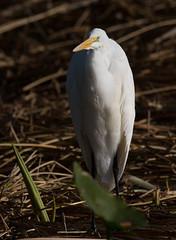 _C5A1494.jpg (Lake Worth) Tags: bird nature birds animal animals canon wings wildlife feathers wetlands everglades waterbirds southflorida 2xextender sigma120300f28dgoshsmsports