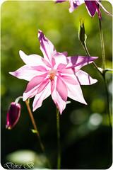 Sumar og sól (Dóra B.) Tags: summer sun flower garden sommer small garður sól litir náttura dýrð dorabirgis