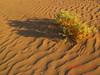 Desert  الصحراء (haidarism (Ahmed Alhaidari) Baaaack) Tags: sea plant sand desert بحر صحراء رمال نبات نبتة