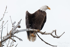 Eagle shows off its talons