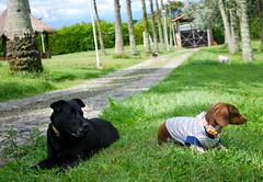 Somos Luna y Tony (Dogs Resort Pereira) Tags: perros petit veterinaria manada peludos razasdeperros hotelparaperros perrosfelices fiestaparaperros dogsresort guarderaparaperros perrosenlapiscina tortaparaperros dogsresortpereira fotoscuriosasdeperros cumpleaosdeperros colegioparaperros guarderacampestreparaperros hotelcampestreparaperros colegiocampestreparaperros perrosjugandofu terapiaenlapiscina terapiaparaperrosenlapiscina reuninpadresdefamilia entregacalificacionesdenuestrospeludos calificacionesdelosperros tarjetaparaperros