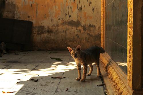 Wat Lanka Cat