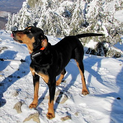 Frakk kunyerál / begging dog (debreczeniemoke) Tags: winter dog mountain snow hiking kutya hegy transylvania transilvania gutin erdély hó tél frakk túra transylvanianhound kakastaréj copoiardelenesc erdélyikopó canonpowershotsx20is transylvanianbloodhound creastacocoşului