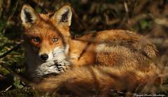 Fox curled up in the Brambles (Sandra Standbridge.) Tags: wild fox sandrastandbridge