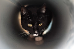 (Estelle Taylor) Tags: white black cat pretty pipe stalk hunt 2015 catsofflickr