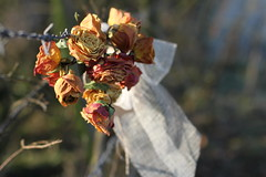 23/365: Bokeh of barbed wire (judi may) Tags: flowers roses fence 50mm wire dof bokeh bow barbedwire ribbon bouquet day23 hertfordshire driedflowers driedroses ickleford day23365 canon7d fencefriday 365the2015edition 3652015 23jan15