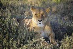Female lion in Ndutu Conservation Area, Tanzania