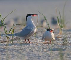 "Offering (v4vodka) Tags: bird nature wildlife birding tern birdwatching seabird rybitwa ""commontern"" ""sternahirundo"" ""rybitwazwyczajna"""
