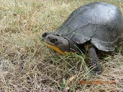 Turtile in field