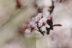 Float Dyptic | Eve Before & After (Mosaic Montage Monday) Tags: flowers blossoms beforeafter plumblossoms descansogardens lightroompresets kimklassen 022415 thestudioonline thestudio|online kkeve