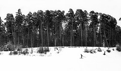 IMG_bw18 (Ser_J) Tags: winter light blackandwhite bw snow man motion cold tree film nature monochrome beautiful composition analog 35mm canon landscape photography photo day alone photographer russia go pines 135 ilford skier film35mm  photofilm