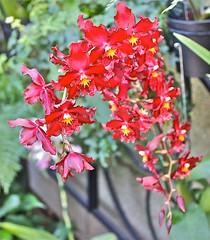 Longwood (PHOTOPHANATIC1) Tags: orchids longwood