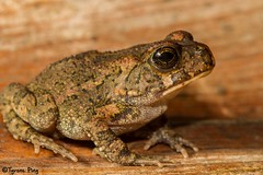 Amietophrynus gutturalis - Guttural Toad (Tyrone Ping) Tags: africa wild macro nature canon southafrica frog toad frogs amphibians herpetology 100mmmacrof28 canon7d