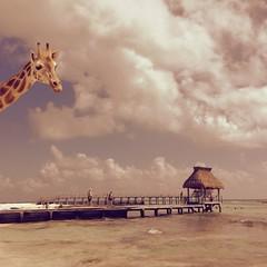 She Loves the Caribbean Sea (Janine Graf) Tags: ocean sea vacation silly beach mexico dock surrealism playadelcarmen surreal retro hut caribbean surrealist giraffe winterbreak lomob juxtaposer janinegraf iphone5s theappwhispererfipaaward