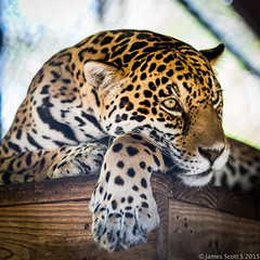 20150222 5DIII Panther Ridge 163 (James Scott S) Tags: wild cats canon scott james big feline dof unitedstates florida conservation s center ridge ii wellington l cheetah fl jaguar panther 70200 f28 ef lr5 5diii
