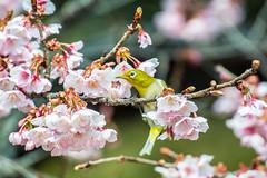 Powerful White-eye (shinichiro*) Tags: winter flower birds japan tokyo  february crazyshin whiteeye  ft1 2015  shutterstock afsnikkor70200mmf28ged aiafsteleconvertertc14eii nikon1v3 20150227dsc3572  16659802882