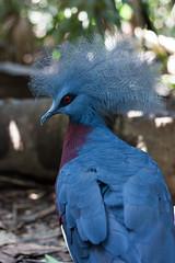 Nice haircut [Bali, Indonesia] (Melvinia_) Tags: park blue red bali bird nature animal canon indonesia rouge 50mm bokeh bleu parc oiseau ubud balibirdpark birdpark indonésie crête canoneos450d grisbleu