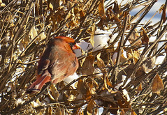 A0324HOMEa (preacher43) Tags: winter nature illinois backyard cardinal geneseo henrycounty