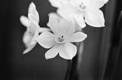 Paperwhite (johnmcochran2012) Tags: flowers blackandwhite flower macro takumar paperwhites spotmatic ilfordxp2 ilford narcissus paperwhite blackandwhitephoto blackandwhitephotos blackandwhitephotograph pentaxspotmatic macroextensiontube blackwhitephotos