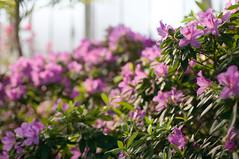 Botanical garden (PblCb) Tags: pink flowers azalea