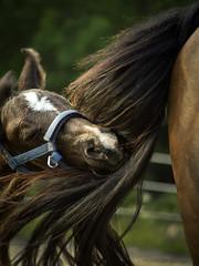Horsing around (Petra Ries Images) Tags: portrait horse eva manual pferd foal fohlen mhlviertel vintagelens pentax110