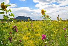 Das Blumenfeld am Lilienstein (Sandsteiner) Tags: lilienstein landschaft natur blumen sommer elbsandsteingebirge sandsteiner