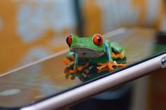iFrog (Daggormet) Tags: costarica centralamerica nikon nikond5200 nature animal wild wildlife fauna frog rainforest phone small colourful leaffrog treefrog villaverdetrip