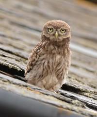 Little Owlet (OWL62) Tags: bird owl raptor nikon devon littleowl
