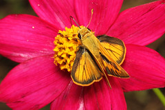 Polites vibex (Whirlabout) - Costa Rica. (Nick Dean1) Tags: politesvibex whirlabout skipper hespiridae butterfly arthropoda arthropod animalia hexapoda hexapod insect insecta costarica lakearenal