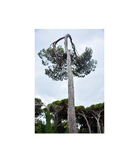 (Milvia Lapucci) Tags: nature trees pine trunk lines composition marinadipisa italy windeffect wind branch